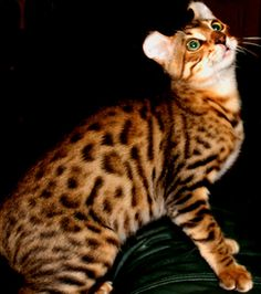 With their high intelligence, dramatic coloring, and great personalities, Mokave Jag Cats are truly one of the rarest and most exotic cats on earth! Rare Cats, Exotic Cats, Cats And Kittens, Cats 101, Big Cats, Highlander Cat, Largest Domestic Cat, Wild Cat Species, Asian Leopard Cat