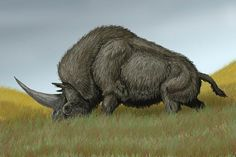 The Giant Unicorn (Elasmotherium sibiricum) was a giant rhinoceros which stood two meters high and six meters long, with a single two-meter-long horn in the forehead. It may have weighed up to 5 tonnes. Its legs were longer than those of other rhinos and were designed for galloping, giving it a horse-like gait. It was probably a fast runner, in spite of its size. Its teeth were similar to those of horses, and it probably grazed low herbs.