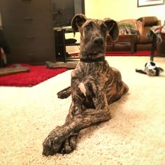 Brindle Great Dane puppy. His name is Elliot.