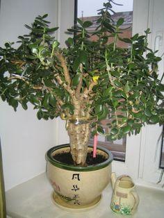 Crassula Jade Bonsai, Jade Tree, Crassula Ovata, Jade Plants, Plant Care, Indoor Plants, Planter Pots, Wallpaper Quotes, Plants