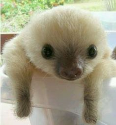 7 Sloth Facts You Probably Didn't Know - baby animals Cute Baby Sloths, Cute Sloth, Baby Otters, Animals And Pets, Funny Animals, Farm Animals, Exotic Animals, Majestic Animals, Wild Animals