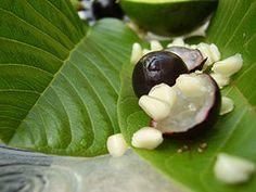 Pitahaya (Fruta del Dragón)