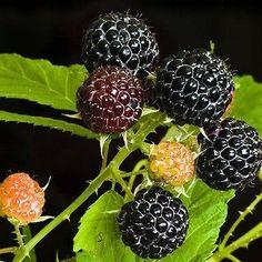 25+ Black Raspberry Bush Seeds , Under The Sun Seeds