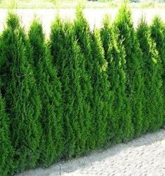 Tall Hedges: The Emerald Green Arborvitae, Thuja occidentalis 'Smaragd' - (second photo) Evergreen, dark green foliage, easy to prune to desired height. Thuja Occidentalis Smaragd, Thuja Smaragd, Garden Beds, Garden Plants, Emerald Green Arborvitae, Privacy Landscaping, White Picket Fence, Landscape Plans, Small Trees