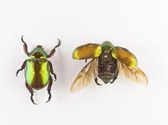 Anoplognathus viridiaeneus, scarab beetle, two dried specimens