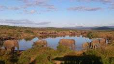 Good morning to the Addo elephants!