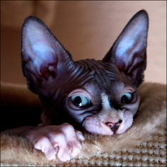 Found this on the web on a page that appeared to have JayZ on it...does that make him a freaky, hairless cat??? L