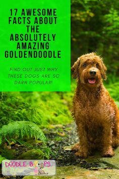 Goldendoodles and Doodle dogs, in general, are extremely popular. Click here now to find out why!   17 Awesome Facts About The Absolutely Amazing Goldendoodle - At DoodleBoops.com, We LOVE Doodle Dogs! Goldendoodles, Labradoodle, Awesome Facts, Fun Facts, Goldendoodle Full Grown, Dog Outfits, Love Doodles, Doodle Dog, Cuddle Buddy