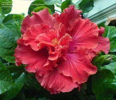 cajun hibiscus | Tropical Hibiscus, Cajun Hibiscus 'Fireworks' ( Hibiscus rosa-sinensis ...