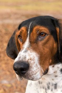 Treeing Walker Coonhound Dog Names - Wag! Hound Puppies, Hound Dog, Dogs And Puppies, Top Dog Names, Puppy Names, Walker Hound, Treeing Walker Coonhound, Dog Facts, Family Dogs