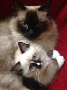 Ragdolls Ryker 3 yr old Seal Point & Reese 12 wk old Seal Mitted