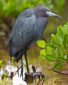 Little Blue Heron by Don Thompson