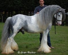 "Gypsy stallion with ""blagdon"" markings in the typical blue and white color"
