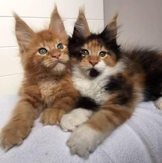 Maine Coon Cat Gallery - Cat's Nine Lives Cute Cats And Kittens, I Love Cats, Crazy Cats, Cool Cats, Kittens Cutest, Pretty Cats, Beautiful Cats, Animals Beautiful, Maine Coon Kittens