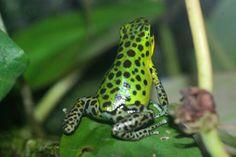 イチゴヤドクガエル'プンタ ラウレント' Poison Dart Frogs, Frog And Toad, Reptiles, Animals Beautiful, Phone Case, Colors, Frogs, Naturaleza, Toad