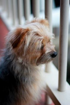 AUSTRALIAN SILKY TERRIER Little Dogs, Big Dogs, Dogs And Puppies, Cute Fluffy Puppies, Pet Psychic, Silky Terrier, Cutest Animals, Terrier Dogs, Dachshunds