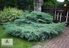 Juniperus squamata 'Blue Carpet' Evergreen Bush, Evergreen Garden, Juniperus Squamata, Juniper