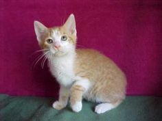 Charlie is an adoptable Domestic Short Hair Cat in Columbus, IN.  Charlie, Cameron, Race and Camry are 4 brothers about 3 months old. They are all sweeties and have all the charm of kittens everywhere...