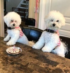 Cutest Puppy Ever, Bichons, God Pictures, Bichon Frise, White Dogs, Bolognese, Little White, Puppys, Little Dogs