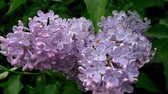 """Lilac does not fade in hot water. And is considered a medicinal plant due to the presence of ethereal oil in the flowers. Folk medicine used the flowers to """"cure"""" kidney diseases and for anti-malaria. Lilac Flowers, Rare Flowers, Tropical Flowers, Cut Flowers, Amazing Flowers, Beautiful Flowers, Small Flowers, Spring Flowers, Garden Web"""