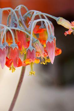 Cotyledon orbiculata flower. #succulent_flower #SerraGardens_succulents #cotyledo_orbiculata Blooming Succulents, Flowering Succulents, Cactus, Happy, Flowers, Plants, Art, Art Background, Florals