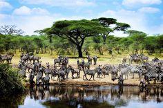 TANZANIE Destination de safari sans équivalent! Les statistiques parlent d'elles-mêmes ; ¼ du territoire a été préservé, avec en tête le célèbre Parc National du Serengeti et l'incroyable Réserve du Selous ! Mais la Tanzanie c'est aussi le Kilimandjaro et le Ngorongoro. En tous, 4 grands pôles qui font de la Tanzanie une destination voyage sans pareil. http://www.uniktour.com/fr/voyage-tanzanie