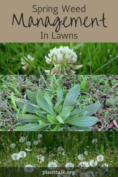 1555 - Spring Weed Management in Lawns - PlantTalk Colorado Colorado State University, Spring Time, Gardening Tips, Weed, Lawn, Plants, Plant, Planting, Planets