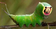 єคгtђ ¢гїttєгş αrℯ ş๏ ḉ๏๏ℒ ♥´´¯`•.¸¸. ི♥ྀ    Fascinating Cerura vinula(lagarta)