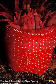 Red Sea anemone by Brandon Cole