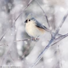 Tufted Titmouse. Such a pretty bird. And they're curious little things… they tend to peek in your windows.
