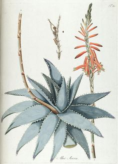 Aloe Serra by BioDivLibrary on Flickr.  Fragmenta botanica, figuris coloratis illustrata.Viennae, Austriae : Typis Mathiae Andreae Schmidt, typogr. Universit., 1809..biodiversitylibrary.org/page/287690