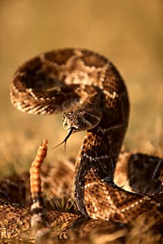 earth-song: snake - Location: Near Benjamin, Texas, USA Amazing Beasts, Earth Song, Snake Venom, Cute Snake, Reptiles And Amphibians, Viper, Predator, Beautiful Creatures, Animals And Pets