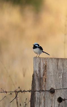 Blue Wren | Flickr - Photo Sharing!