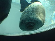 Just a seal. that ran into the glass. haha I laughed at this for way too long. Funny Animal Memes, Cute Funny Animals, Funny Animal Pictures, Funny Cute, Funny Pics, Stupid Animals, Fail Pictures, Funny Images, Tierischer Humor