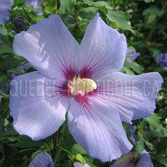 Blue Bird, Hibiscus, Mauve, Planting Flowers, Photos, Gardens, Shrubs, Yard, Plant