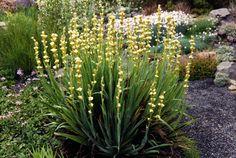 Sisyrinchium striatum 3 x plug plants Planting Plan, Planting Seeds, Gravel Garden, Garden Landscaping, Landscape Design, Garden Design, Full Sun Plants, Gardening Zones, Home Garden Plants