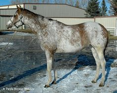 """A Thoroughbred from the Airdrie Apache line, which is widely rumored to have a mutation that has evaded detection.  That is why it is not necessarily helpful to categorize all the W mutations as """"white"""". The challenge, however, if that while those really are the categories that interest breeders, the genes themselves do not all fit neatly into just one of them.  Patterns like this one, for instance, sit somewhere between the white (and near-white) horses and the sabino patterns."""