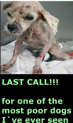This emaciated dog needs rescue ASAP for further care—came in with severe matting and severe tick infestation. A1704752 Miami Dade https://www.facebook.com/urgentdogsofmiami/photos/pb.191859757515102.-2207520000.1434151076./992363830798020/?type=3&theater