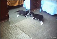 Cute Kitten battles himself in the Mirror. PURRfect Breakdance. More FUNNY Kitten GIFs @ http://www.cat-gifs.com
