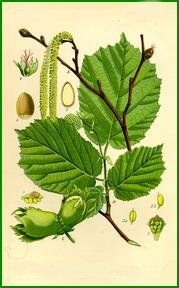 Hazel tree: deals with creativity. It was used for inspiration in art and poetry.   The hazel is considered a container of ancient knowledge. Ingestion of the hazel nuts is proposed to induce visions, heightened awareness and lead to epiphanies.  In modern times the hazel nut has proven itself to be a brain food. Pound for pound the hazel nut has double the protein, and good fats than eggs, making them natural nourishment for brain function.