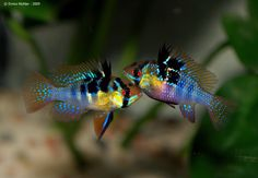 M. ramirezi is also known by the names 'Ramirez' dwarf cichlid' and 'butterfly cichlid' and is among the more widely-available dwarf cichlids in the aquarium hobby. As a result it's produced on a commercial basis in huge numbers and a number of ornamental strains have been developed including 'gold', 'long-finned' (both blue and gold forms; also traded as 'lyre-tail', 'veil-tail' and 'hi-fin'), 'electric/neon blue', 'super neon blue gold' 'pearl/perlmutt' and 'balloon'.