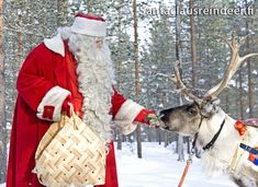 Santa Claus giving lichen to reindeer in Lapland