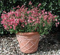 Diamonte 'Coral Rose' AAS 2006 Basket filler- add it to a container with Pepper Black Pearl for dramatic effect. Delicate sprays of flowers trail over the edges of pots, or around rocks in a sunny garden.