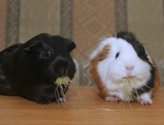 That black one looks exactly like my guinea pig.