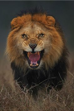 Fierce Lion by Atif Saeed