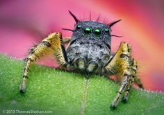 How do insect macrophotographers see their subnets? Staring straight at them, like this marvellous jumping spider (photo by T. Shahan)