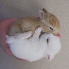 zwei kuschelnde Baby-Kaninchen in einer Hand ❤❤❤❤❤❤ zwei kuschelnde Baby-Kaninchen in einer Hand ❤❤❤❤❤❤ animaux mignon fille garçon metisse montessori naissance Cute Baby Bunnies, Cute Cats, Cute Babies, Baby Animals Pictures, Cute Little Animals, Fluffy Animals, Cute Creatures, Nature Animals, Animals Beautiful