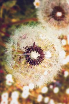 """plasmatics-life: """" (via: 500px ~ Dandelion Beauty by Evans Lazar) """""""