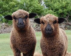 """""""Romney Sheep - The Romney, formerly called the Romney Marsh sheep but generally referred to by the local farmers as the Kent, is a breed of sheep originating in England. The Romney is a long-wool breed recognized in England by 1800."""""""