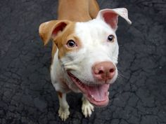 """SIBBLE - A1036555 - - Manhattan  TO BE DESTROYED 05/29/15 A volunteer writes: The Urban Dictionary says that sibble = """"to list someone as your brother/sister/mother/father/cousin"""". Well, OK, as our Sibble is ready to be a part of your family as a cherished pet companion so lets add that to the definition. Gorgeous, playful, sweet and affectionate at 10 months old, Sibble is ready to exit her kennel and head to the yard for some play and cuddle time. Bouncy and p"""